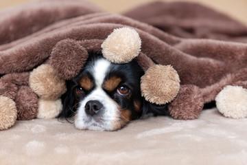 Dog under the blanket © AnnaFotyma