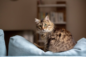 Pet animal; cute cat indoor. House cat.