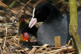 A Eurasian Coot (Fulica atra) on the nest with chicks poster