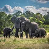 Elephants family in Kruger National Park, South Africa.