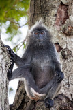 Silvered leaf monkey (Trachypithecus cristatus) or Silvery lutung (silver leaf monkey) siiting on the tree silvery langur Malaysia