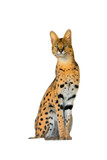 Serval isolated on a white