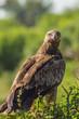 Raven eagle on a tree in samburu park