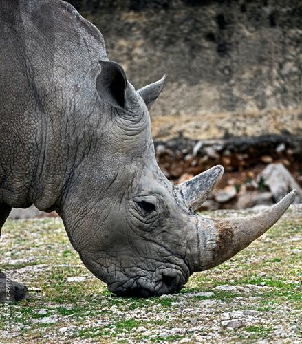 Head of african rhinoceros. Latin name - Diceros bicornis
