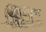 Vector hand drawing cows