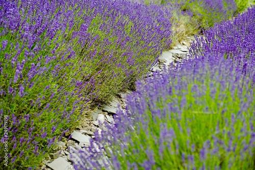 lavender field - 249119198