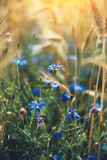 Beautiful cornflower on the background of blurry rye ears. Vertical composition