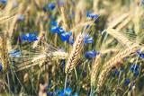 blue cornflowers growing among the field of rye ears close up