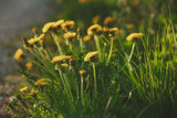 blossoming yellow dandelion flowers against a blurred field of green spring grass and road shot with a shallow depth of field at sunset