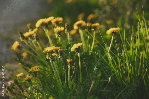 blossoming yellow dandelion flowers against a blurred field of green spring grass and road shot with a shallow depth of field at sunset - 249126322