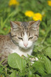 brown and white cat on the lawn with dandelions - 249160512
