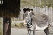Zebra paard