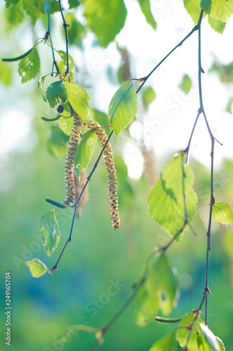 Fragment of green spring birch branch with buds. Soft focus - 249165704