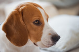 Beagle dog portrait lie on a couch - 249166383