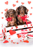 dachshund puppies in Valentine`s Day greeting card