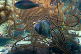 The French angelfish (Pomacanthus paru) underwater among coral reef in mexico