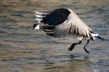 Canada Goose Taking to Flight from the River Water - 249184995