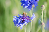 Bees Pollinating Blue Purple Cornflower (Centaurea cyanus) in Spring