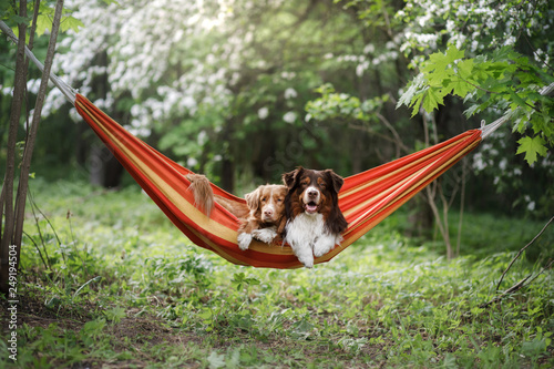 two cute dogs lying in a hammock in nature. Rest with a pet, Nova Scotia Retriever and Australian Shepherd © annaav