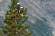 Bald eagles (Haliaeetus leucocephalus) in spruce tree;  Alaska