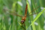 yellow dragonfly on leaf - 249223735