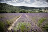 Champs de lavande - Provence - Sud de la France