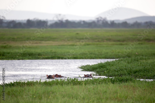 Some hippos in the waterhole with a lot of green grass