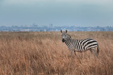 Zebra stand in among drying grass field (Savannah) in front of city and looking at to the Camera, Location in the center of the Nairobi City,Kenya. Contrast situation. Wild Life. Animal in Africa.