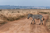 Zebra stand in front of city and crossing the soil road in Nairobi national park, Located in the center of the Nairobi City,Kenya. Contrast situation. Wild Life. Animal in Africa, Africa Nature.