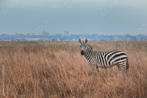 Zebra stand in among drying grass field (Savannah) in front of city and looking at to the Camera, Location in the center of the Nairobi City,Kenya. Contrast situation. Wild Life. Animal in Africa. © chonlatit