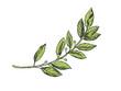 Laurel branch color sketch engraving vector illustration. Scratch board style imitation. Hand drawn image.