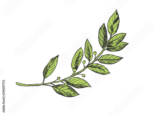 Laurel branch color sketch engraving vector illustration. Scratch board style imitation. Hand drawn image.