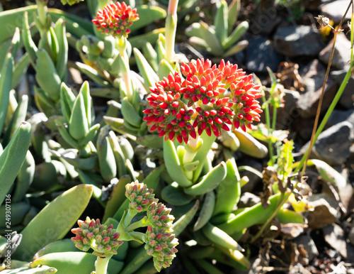 Crassula perfoliata var minor a succulent plant flowering
