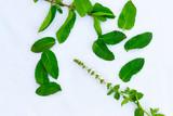 Mint leaves arranged in a random way - 249307542