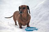 Dachshund dog winter park