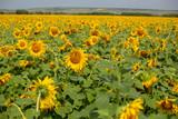 sunflowers field in summer