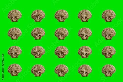Leinwandbild Motiv Jakobsmuscheln auf grünen Hintergrund
