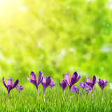 Nature background with crocus flowers