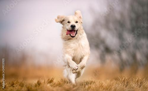 dog running in field - 249331105