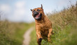 Bullmastiff having fun