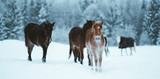 Nordland horse in Norway