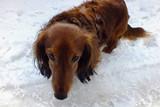 Funny dog long haired dachshundb looks into the eyes