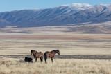 Herd of Wild Horses in Winter in Utah