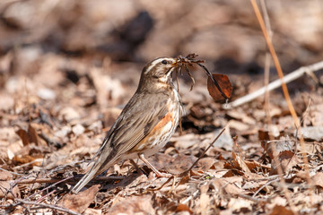 Redwing collects nest material on the ground in spring forest. Thrush with brown spots (Turdus iliacus) sitting on fallen leaves with dry grass in beak.