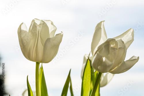 Tulpen weiss