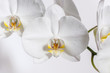 Large white Orchid flower.