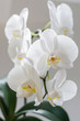 A houseplant is the Phalaenopsis Orchid. White.