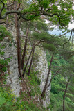 Pines grow on a steep slope of a rock, below which is a green forest. - 249385551
