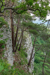Pines grow on a steep slope of a rock, below which is a green forest. © Дмитрий Поташкин