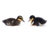 Cute little newborn fluffy duckling. One young duck isolated on a white background.